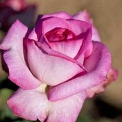 Роза флорибунда Альтерароз