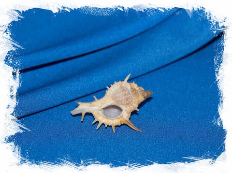 Мурекс формосус (Murex formosus)