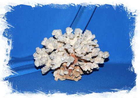 Коралл Поциллопора веррукоса 15 см.