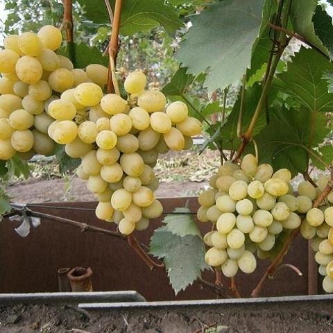 Виноград столовый сорт Августин