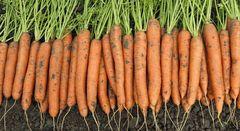 Карвора F1 семена моркови, (Seminis / Семинис)