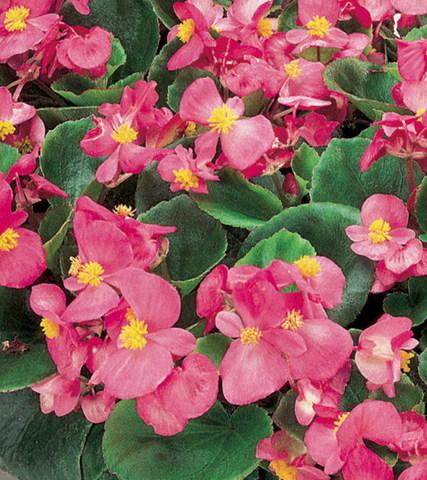 Семена Бегония вечноцветущая зеленолистная Монза Роуз, 10 драже