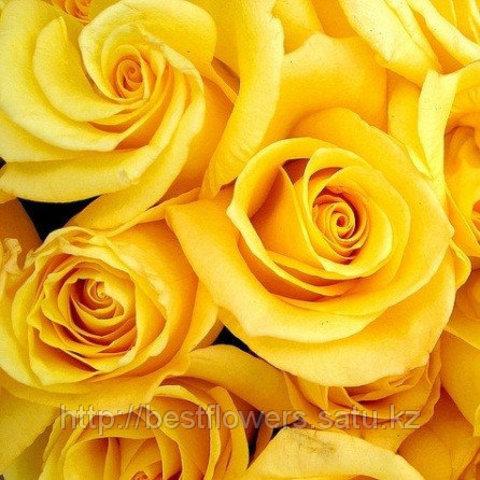 Жёлтые розы (Голландия, вы сами выбираете количество)