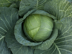 Оутем квин F1 семена капусты белокочанной, (Takii / Таки)