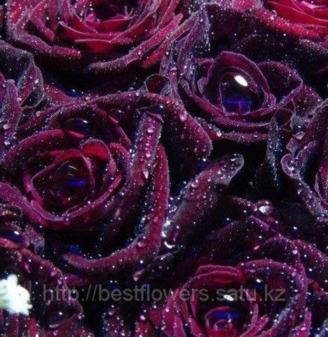 Бордовые розы (Голландия, вы сами выбираете количество)
