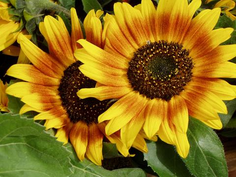 Семена Подсолнечник Цветок солнца, Одн