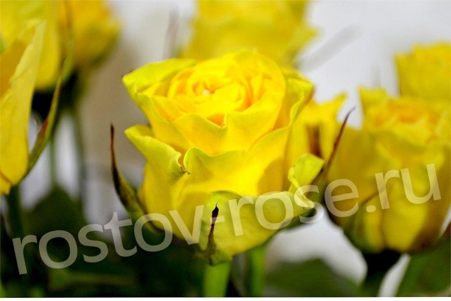 Букет из местных роз сорта Илиос