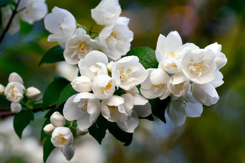 Жасмин садовый (Чубушник)_Philadelphus coronarius Dame Blanche