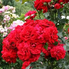 Роза парковая Амадеус