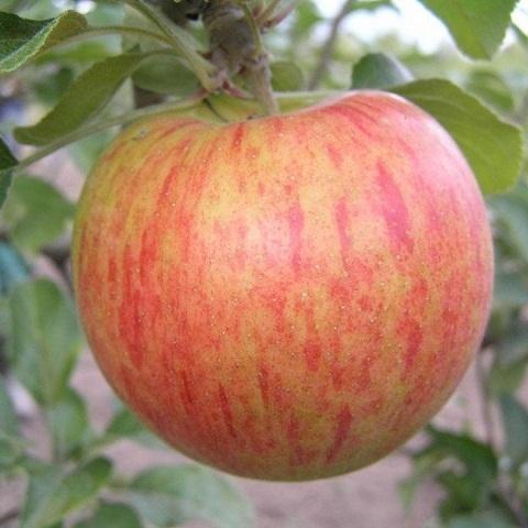Яблоня летний сорт Орлинка