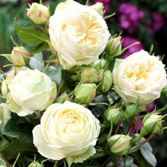 Роза миниатюрная Веддинг Пиано