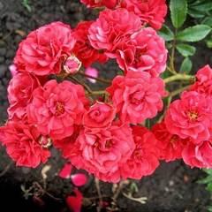 Роза плетистая Скарлет Мейяндекор Scarlet Meillandecor купить