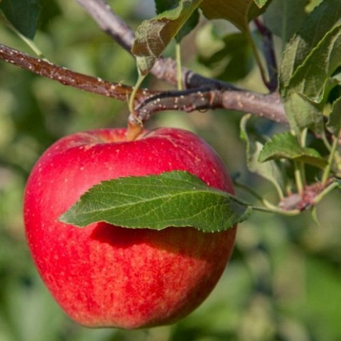 Яблоня осенний сорт Легенда