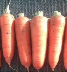 Курода Пауэр семена моркови курода/шантане (Sakata / Саката)