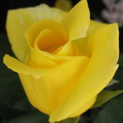 Роза плетистая Дюн