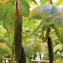 Оберто F1 семена огурца партенокарпического (Rijk Zwaan / Райк Цваан)