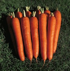 Мирна F1 семена моркови, (Seminis / Семинис)