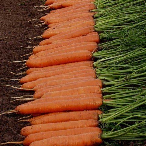 Нантский Монанта семена моркови, (Rijk Zwaan / Райк Цваан) Монанта_семена_овощей_оптом.jpg