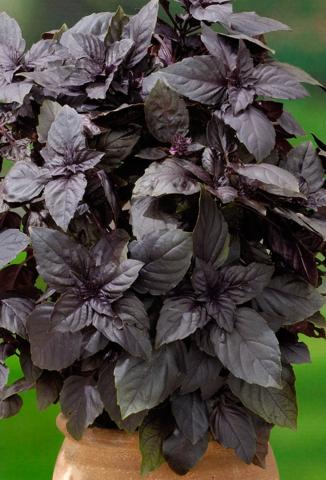 Семена Базилик Овощной Долголетие фиолетовый