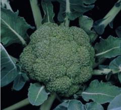 Монтоп F1 семена капусты брокколи, (Syng.)