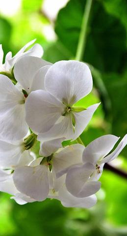 Семена Цветы Пеларгония нано Белая
