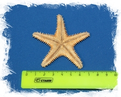 Морская звезда Шерифа 6 - 7 см