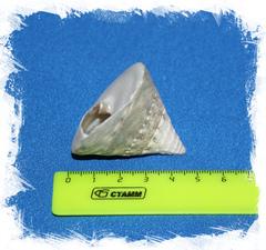 Тектус Пирамис до 6 см.