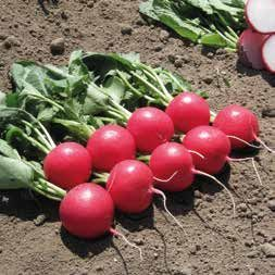 Редис Мелито F1 семена редиса, (Hazera / Хазера) Мелито_F1_семена_овощей_оптом.jpg
