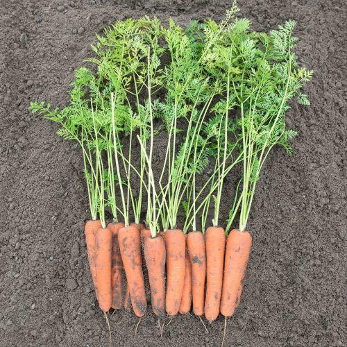 Нантский Нирим F1 семена моркови, (Bejo / Бейо) НИРИМ_F1_семена_овощей_оптом.jpg