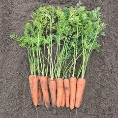 Нирим F1 семена моркови, (Bejo / Бейо)