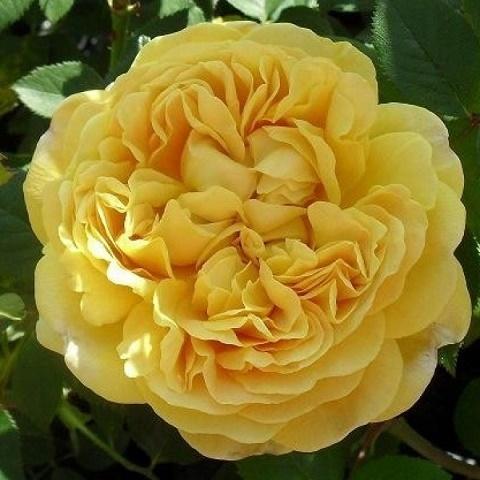 Роза английская душистая Чарльз Дарвин