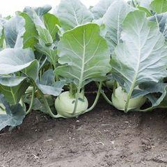 Кольраби Едер рз F1 семена капусты кольраби, (Rijk Zwaan / Райк Цваан) ЕДЕР_РЗ_F1_2_семена_овощей_оптом.jpg