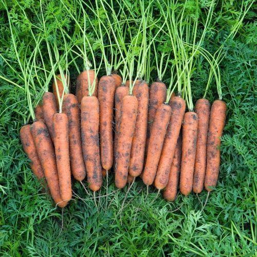 Нантский Норволк F1 семена моркови, (Bejo / Бейо) НОРВОЛК_F1_семена_овощей_оптом.jpg