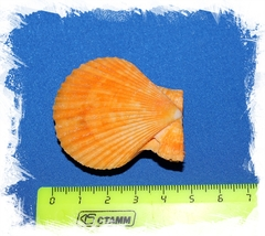 Цветной морской гребешок двойной 4,5 см
