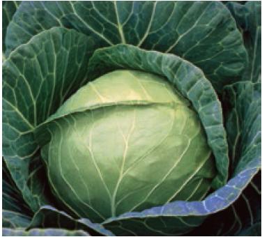 Белокочанная Пруктор F1 семена капусты белокочанной, (Syng.) пруктор.PNG