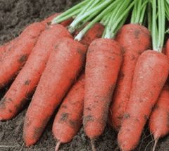 Проминанс F1 семена моркови, (Takii / Таки)