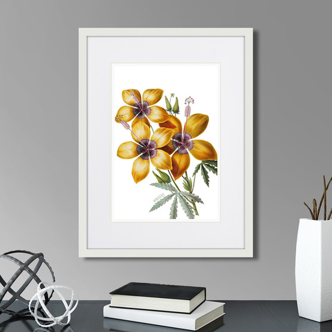 Марк Кейтсби - Caribian Flora Yellow Hibiscus, 1740г.