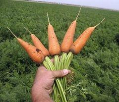 Ред кор семена моркови, (Clause / Клос)