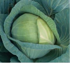 Триперио F1 семена капусты белокочанной, (Syng.)