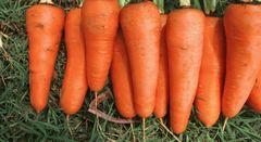 СВ 3118 F1 семена моркови, (Seminis / Семинис)