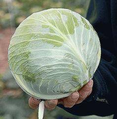 Металор F1 семена капусты белокочанной, (Syng.)