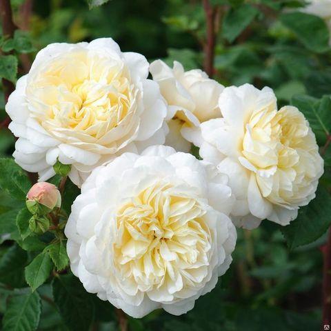 Крокус роза Crocus Rose
