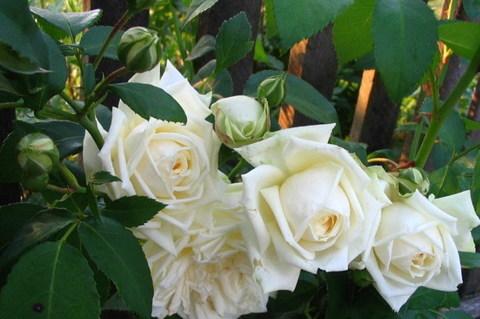 Роза плетистая Уайт Брокейд (Ильзе Крон Супериор)