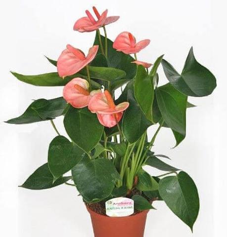 Цветок андрианум