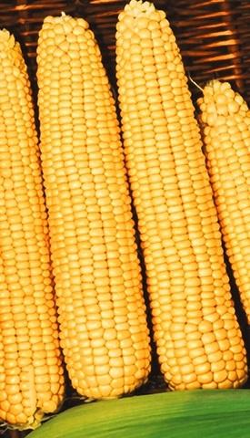 Семена Кукуруза Золотой Батам, сахарная