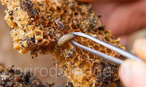 Личинка восковой моли на соте