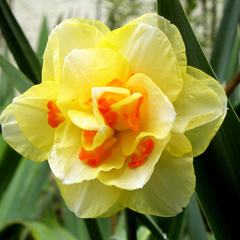 Нарцисс махровый Таити