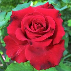 Роза чайно-гибридная Лавли Ред