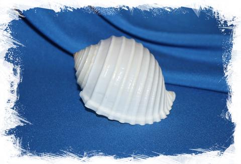 Ребристая тонна (Tonna allium)