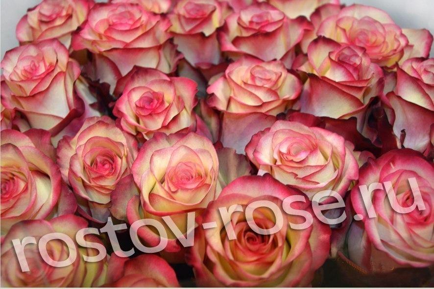 Букет 51 бело-красная роза (Зквадор)